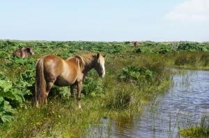 Chevaux en liberté - Parc national de Chiloé - Chili