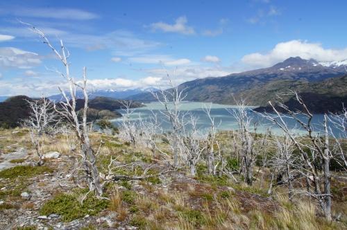 Arbres mortifiés sur le Lago Grey