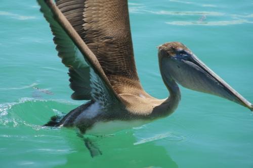 Un Pelican - Les Galapagos - Equateur