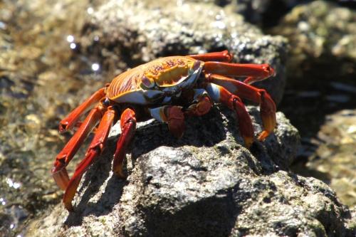 Un crabe rouge - Les Galapagos - Equateur