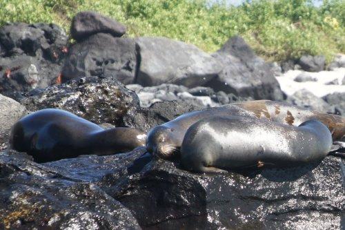 Les lions de mers, ou loups de mers ou phoques - Loberia - Les Galapagos - Equateur