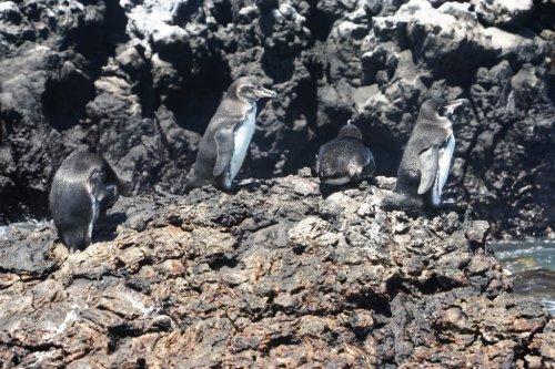 Les pingouins miniatures - Isabela - Les Galapagos - Equateur