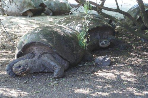 Tortue géante - Isabela - Les Galapagos - Equateur