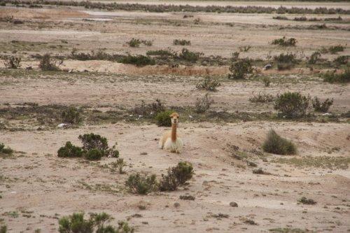 Tranquille dans ma réserve - Canyon de Colca - Pérou